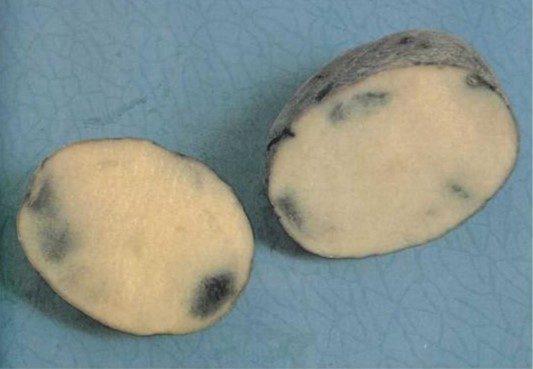 Меланоз картофеля (потемнение мякоти, серая пятнистость)